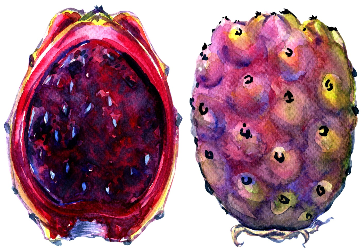 Fruits of Opuntia ficus-indica, red cactus pears on white